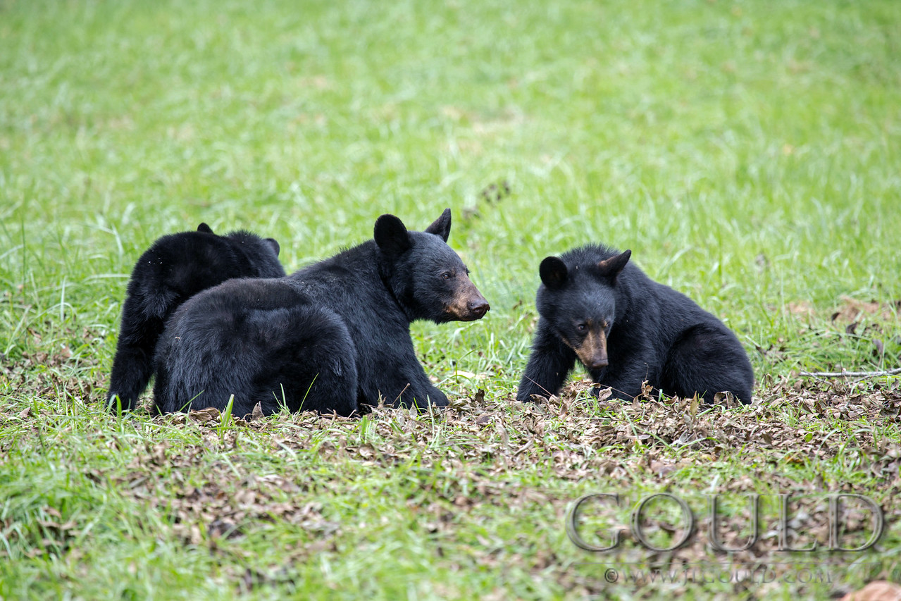 Black Bears And Walnuts