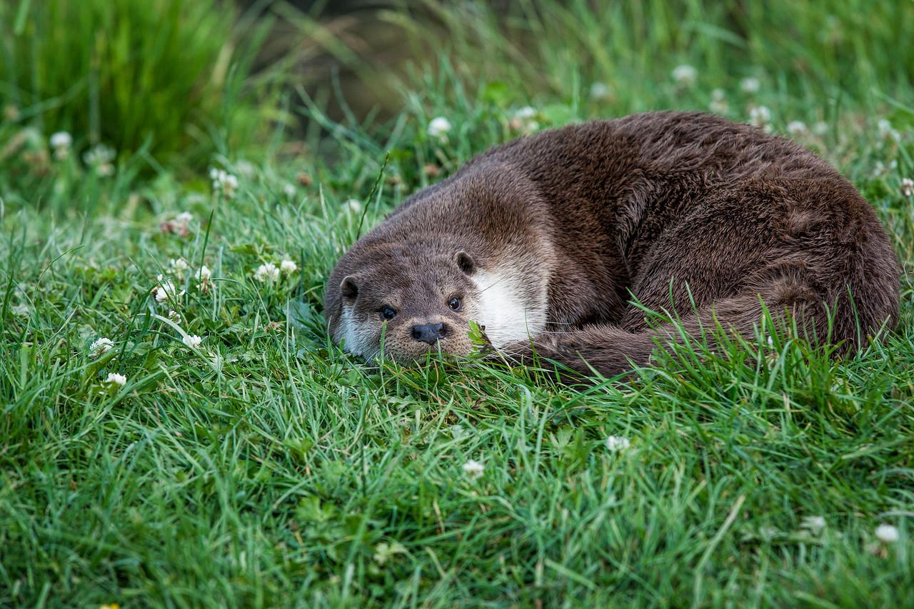Otter Resting