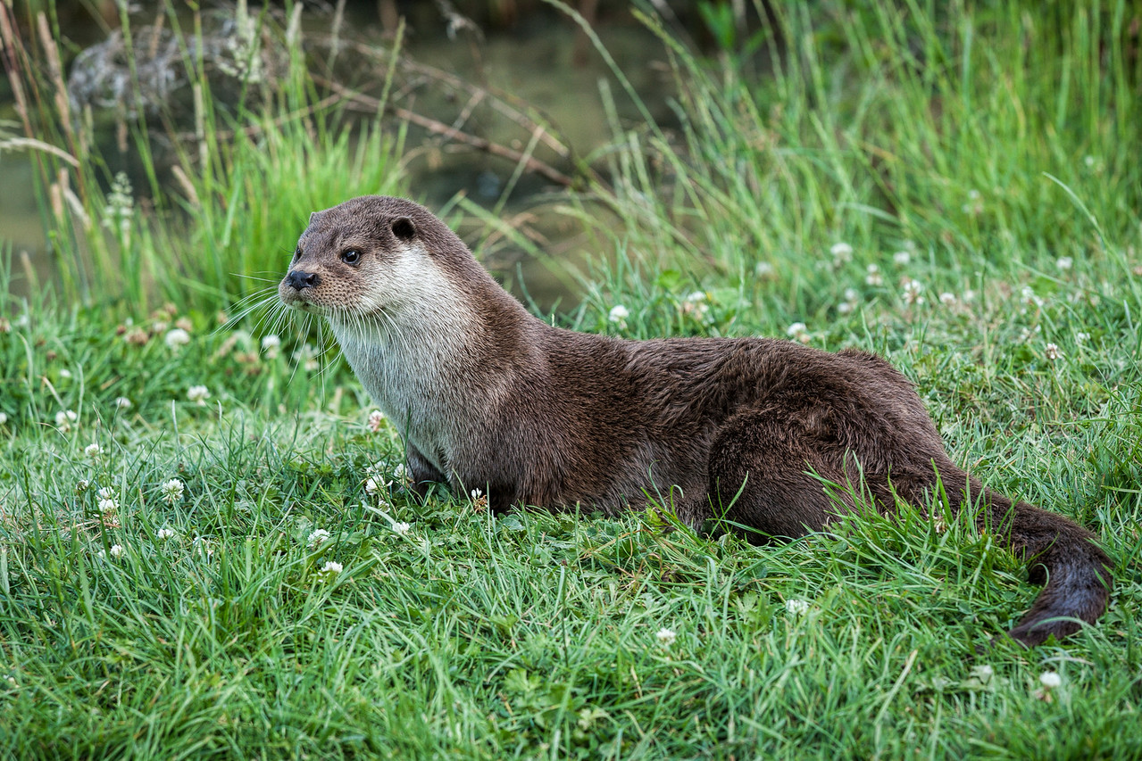 Side view of an otter on the grass by the water