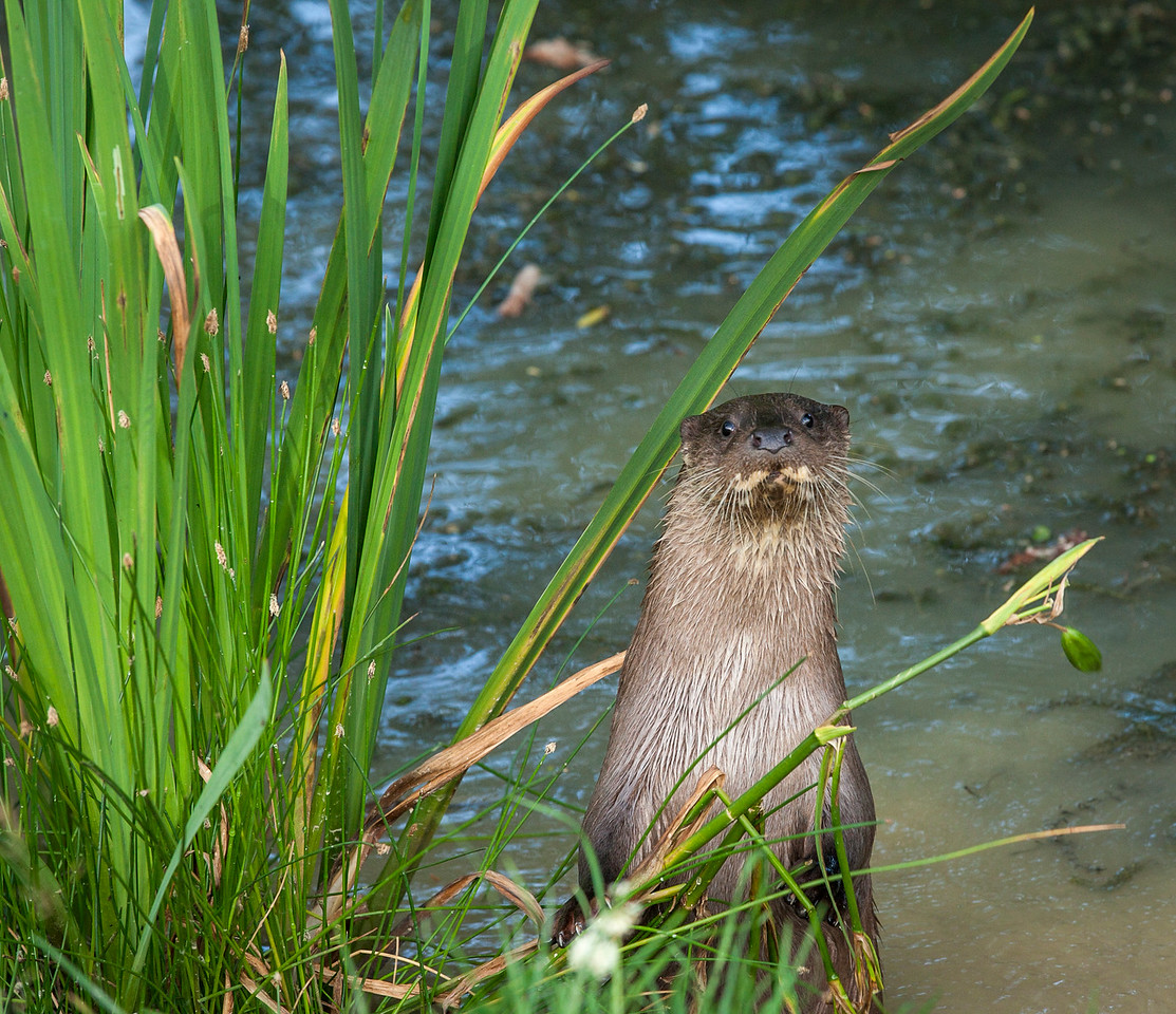 An otter on its hind legs in the water looking straight ahead