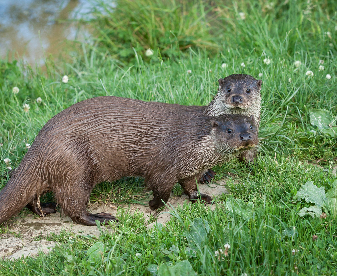 A pair of otters on the grass near water