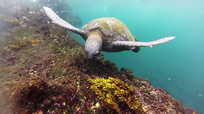 Sea Turtle and Penguin - Galapagos Island