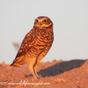 Burrowing Owl, In the Morning sun