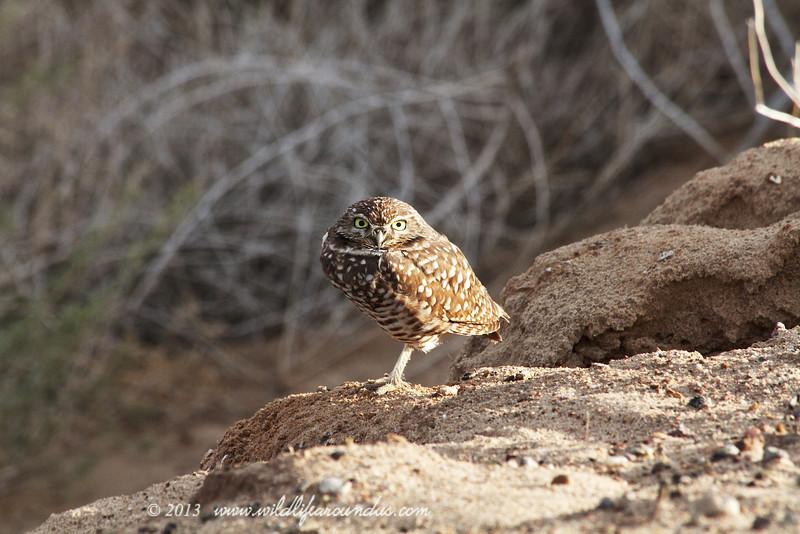Burrowing Owl - Yuma Arizona