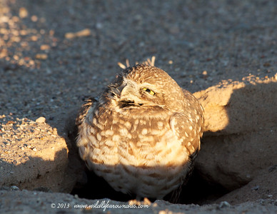 Burrowing Owl taken in the morning sun