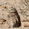 Burrowing Owl,Morning Sun