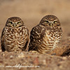 Burrowing Owls - Arizona
