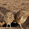Burrowing Owls on lookout outside their burrow