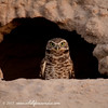 Burrowing Owl on lookout at his Burow