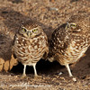 Burrowing Owls of Yuma AZ in front of the their burrow