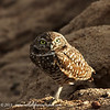 Burrowing Owl, Yuma Arizona