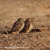Burrowing Owls - Yuma Arizona