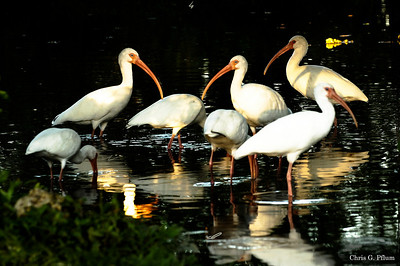 Everglades National Park, Florida, White Ibis