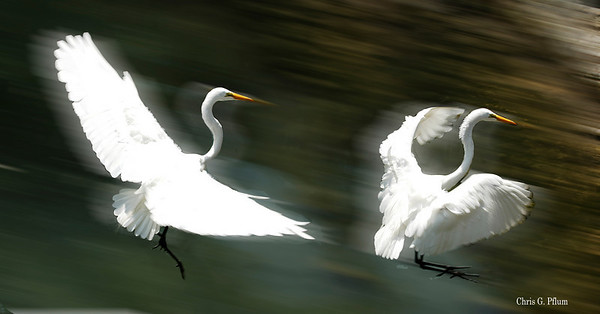 Everglades National Park, Florida, Snowy Egret