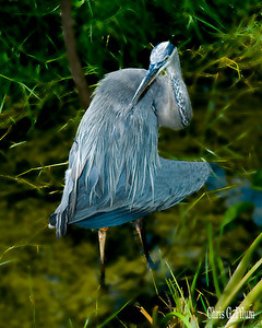 Biscayne Bay, Miami, Florida - Little Blue Heron