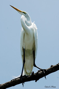 Everglades National Park, Florida, Snow Egret