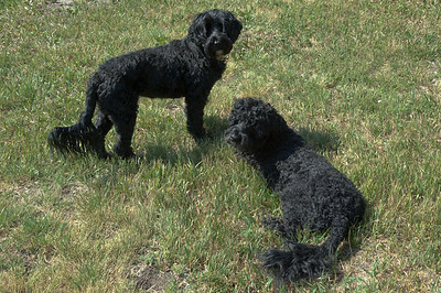 Max and Gracie have webbed paws - They are Portuguese water dogs -  the same breed that the Obama family owns.
