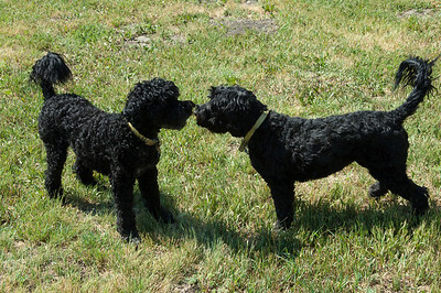 Max and Gracie have webbed paws - They are Portuguese water dogs -  the same breed that the Obama family own