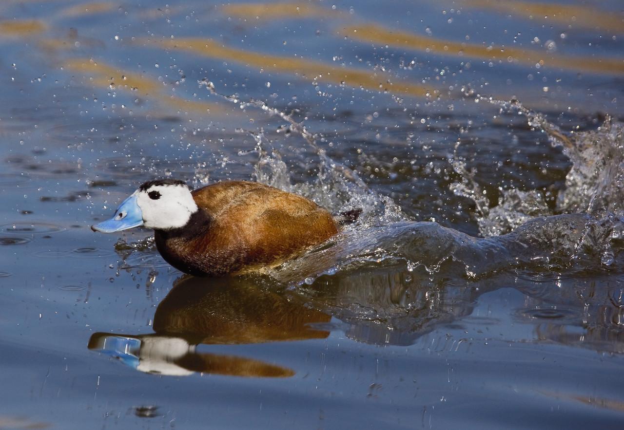 Ruddy Duck Swimming Through the water