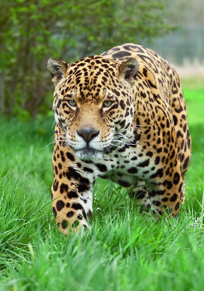 Jaguar Big Cat
