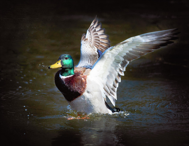 Mallard Duck Splash Landing