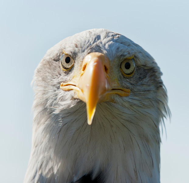 Close up of the beak and eyes of a bald eagle