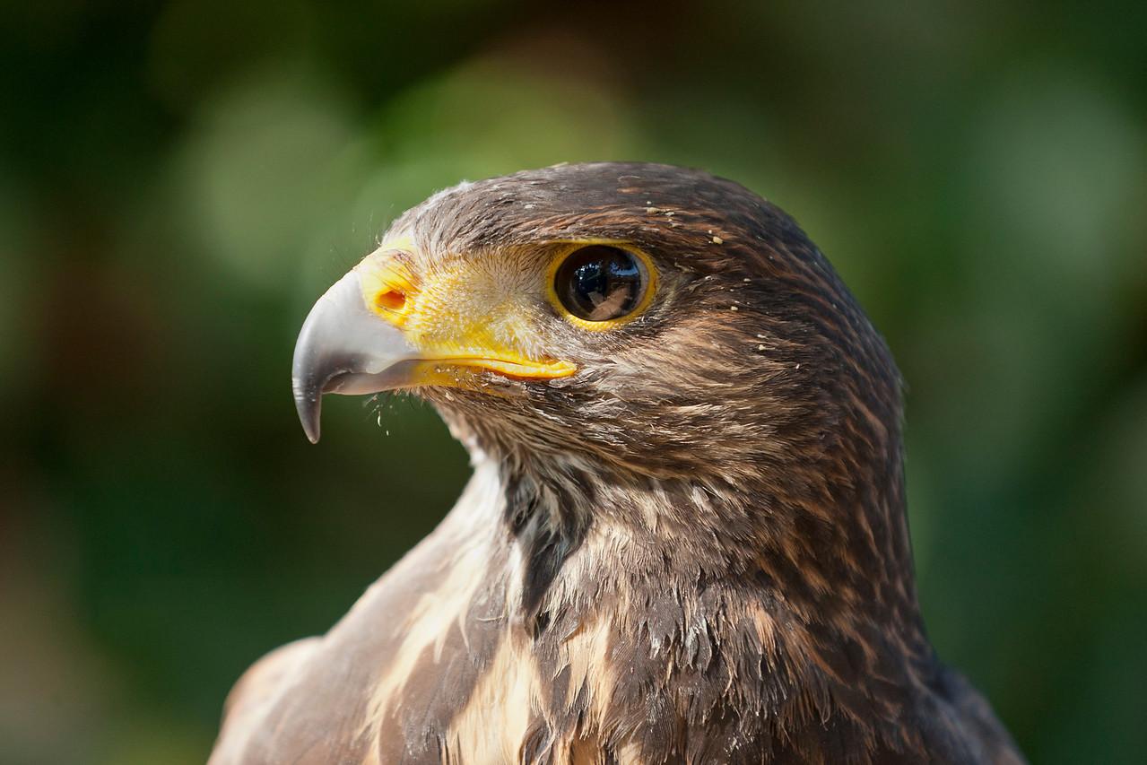 Harris Hawk close up
