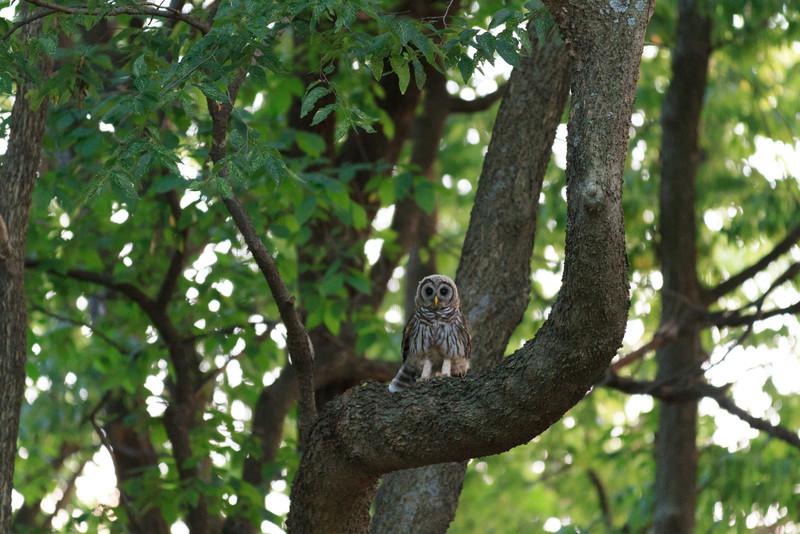2011_07_26 Owls 001