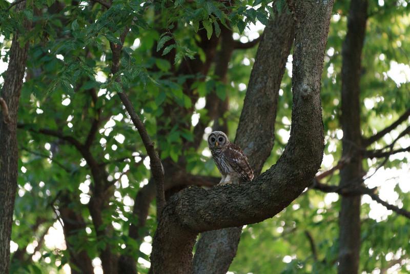 2011_07_26 Owls 003