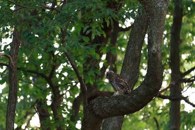 2011_07_26 Owls 002