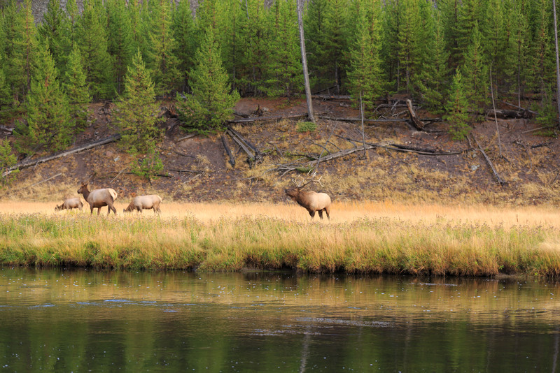 20160918- Elk Rutting along the Madison River 003