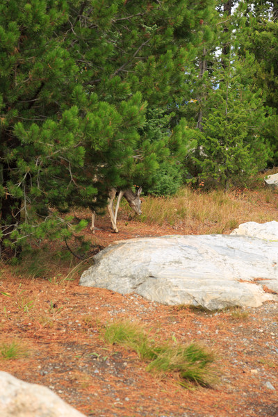 20160922- Black Tail Deer GTNP 001