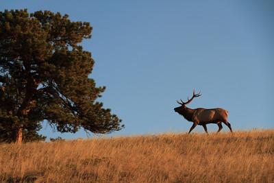 Deer Family - deer, moose, elk, etc