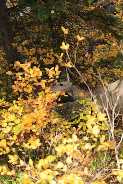 20160922- Black Tail Deer GTNP 004