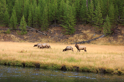 20160918- Elk Rutting along the Madison River 007