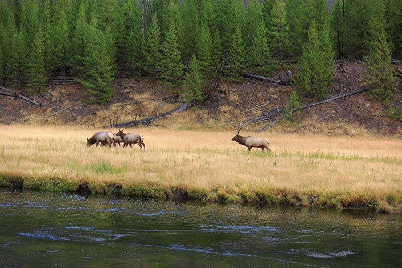 20160918- Elk Rutting along the Madison River 006