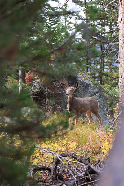 20160922- Black Tail Deer GTNP 002
