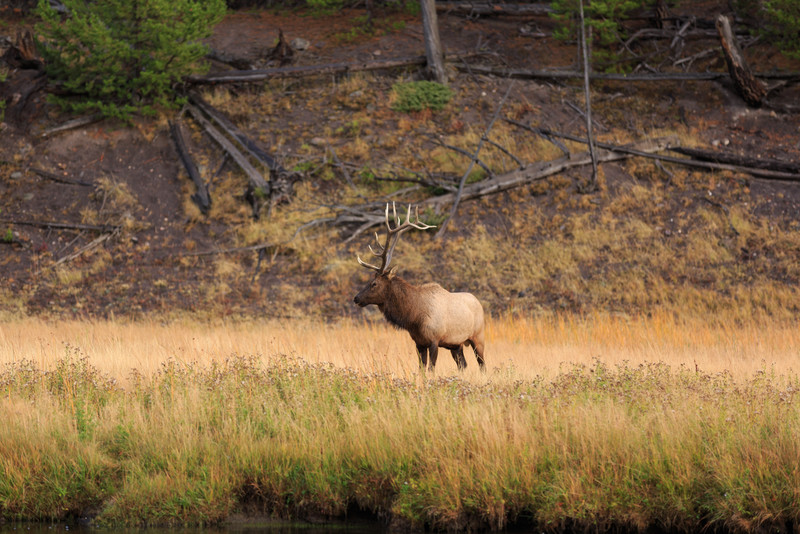 20160918- Elk Rutting along the Madison River 004