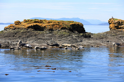 2013_06_04 Orcas Whale Watching 088