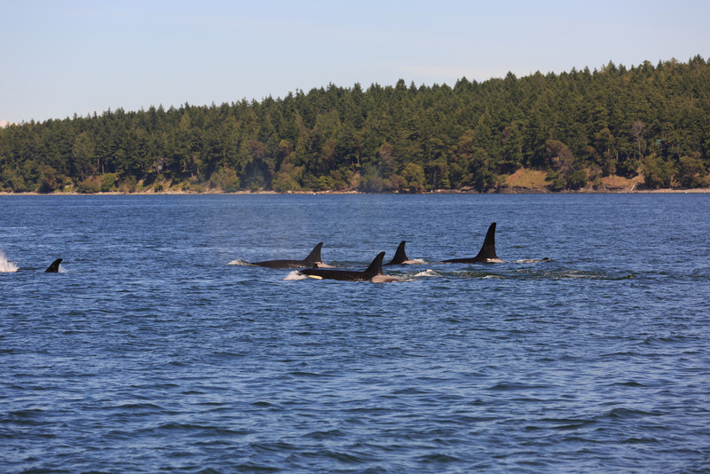 2013_06_04 Orcas Whale Watching 431