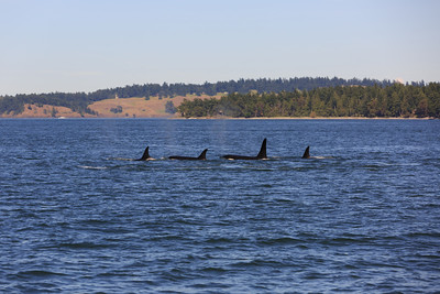2013_06_04 Orcas Whale Watching 458