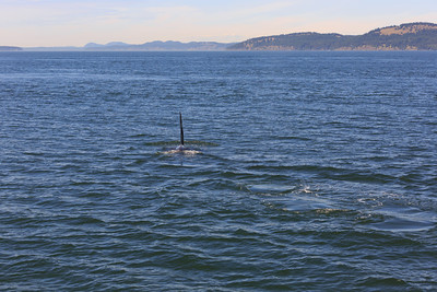 2013_06_04 Orcas Whale Watching 361