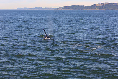 2013_06_04 Orcas Whale Watching 358