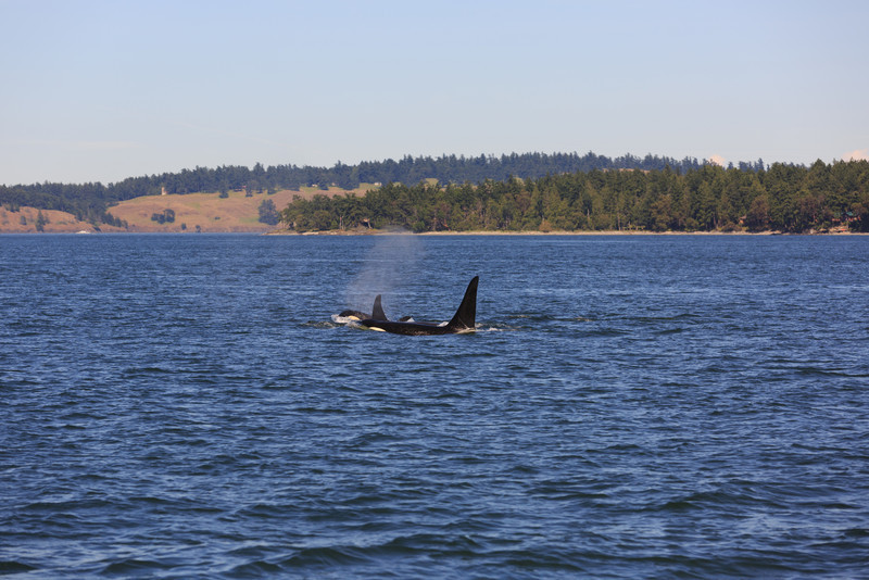 2013_06_04 Orcas Whale Watching 443