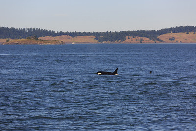 2013_06_04 Orcas Whale Watching 330