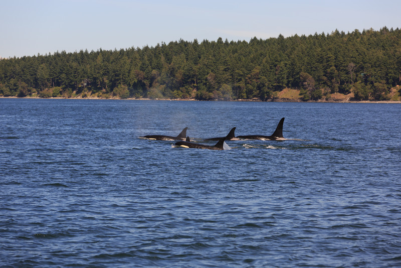 2013_06_04 Orcas Whale Watching 430