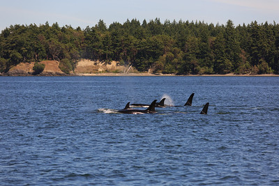 2013_06_04 Orcas Whale Watching 398