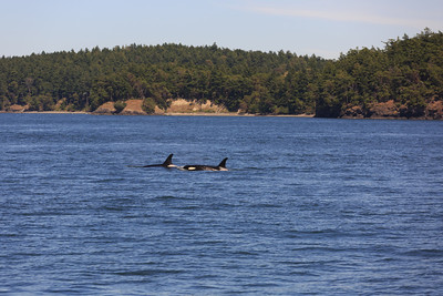 2013_06_04 Orcas Whale Watching 234