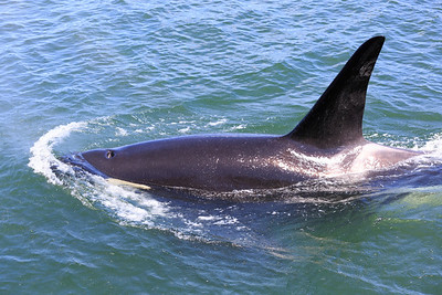 2013_06_04 Orcas Whale Watching 351