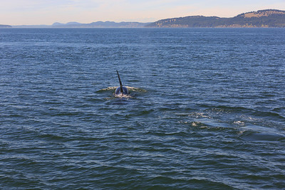 2013_06_04 Orcas Whale Watching 359